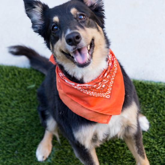 Smiling dog wearing a bandana